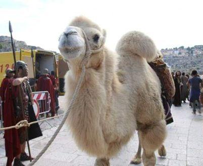 cammello per eventi