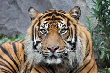 Tigre per eventi